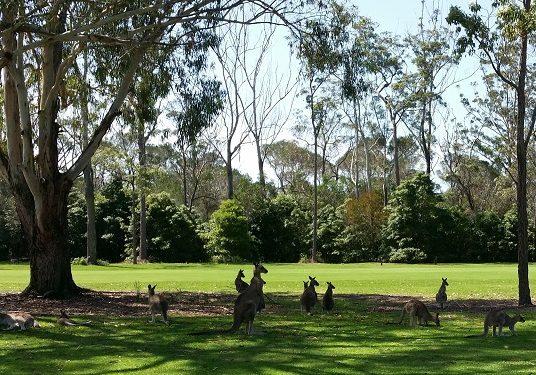 Kangaroos on course